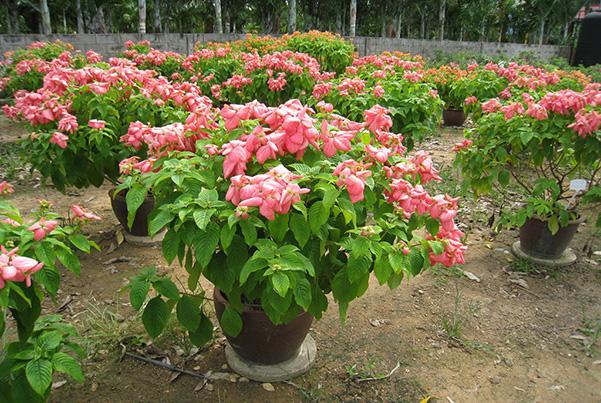 Cây hoa én hồng, bướm hồng