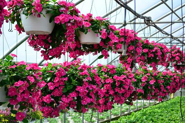 Cây hoa dừa cạn nhiều ý nghĩa