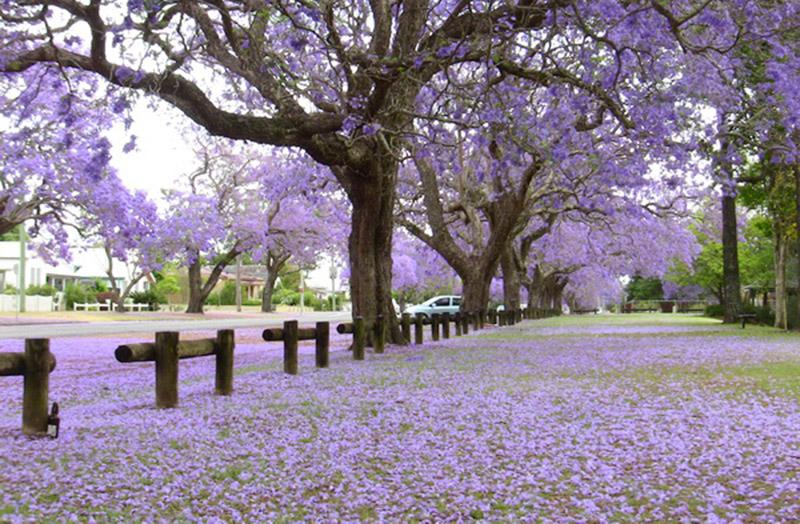 Hàng cây bằng lăng tím đẹp lãng mạn