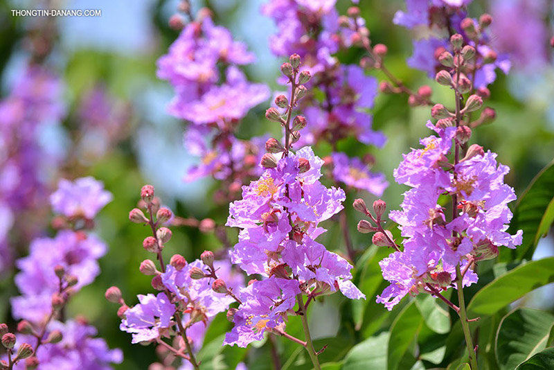 Hoa bằng lăng hoa tím lãng mạng, nghệ sĩ của các loài hoa