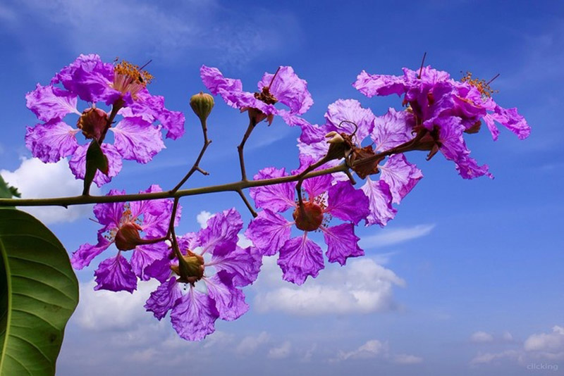 Cánh hoa bằng lăng mềm mại.