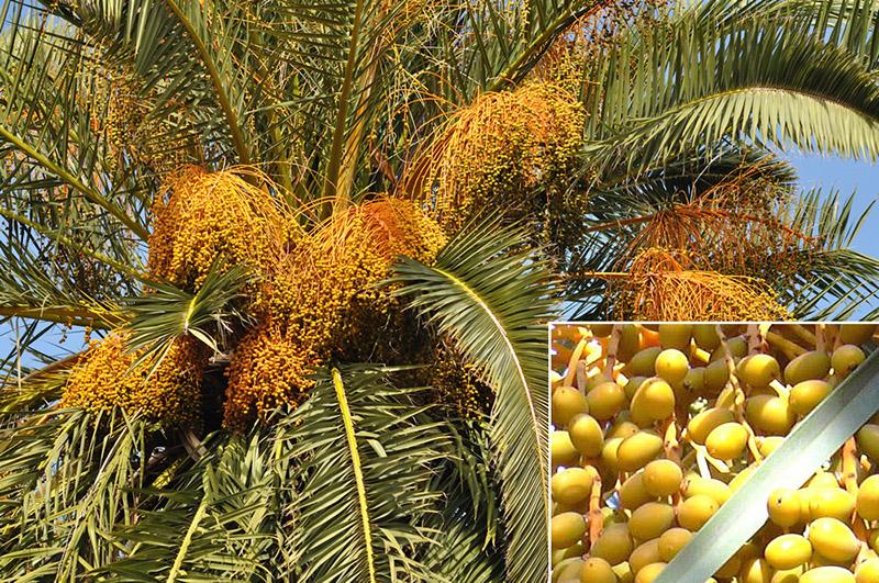 Cây cau vàng – Cây dừa cảnh trang trí.