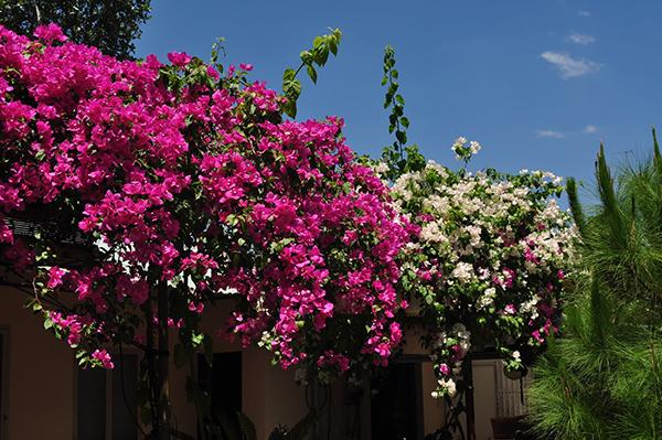 Cây hoa giấy – Cây bông giấy nhiều màu sắc