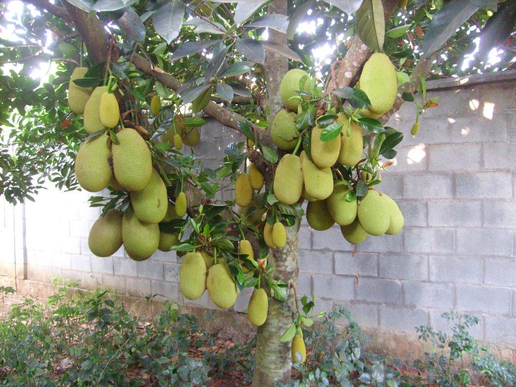 Cây mít ăn quả – Giống lai sai quả, sức chống chịu tốt