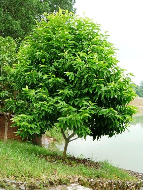Cây ngọc lan, cây cảnh quan – Cách trồng và chăm sóc