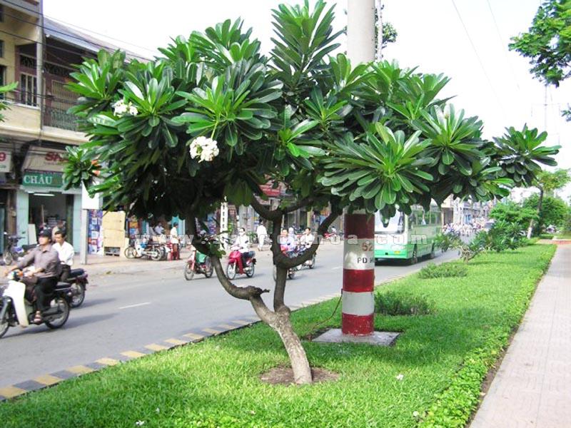 Cây sứ trắng – Cây hoa cảnh truyền thống