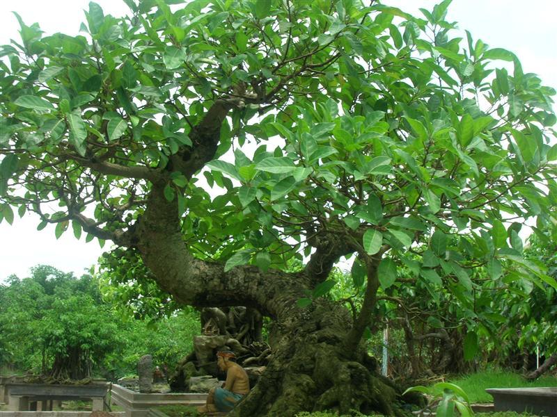 Cây sung – Cách trồng và chăm sóc sung cảnh