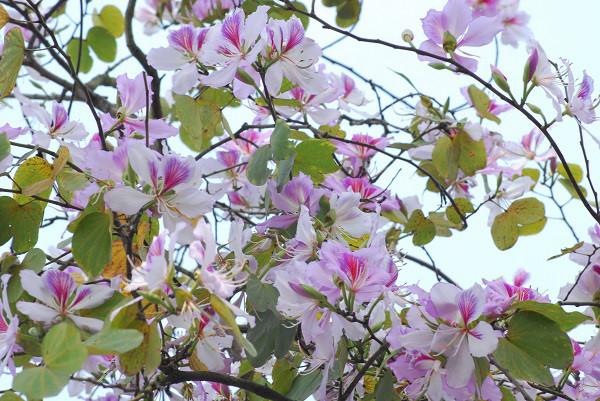 Kết quả hình ảnh cho cây hoa ban tây bắc