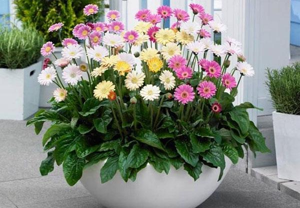 Cây hoa đồng tiền – Hoa chậu trang trí