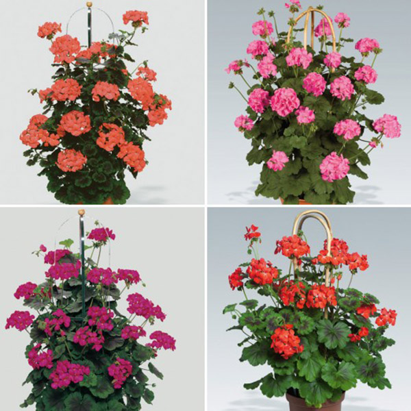 hoa-phong-lu-thao1a