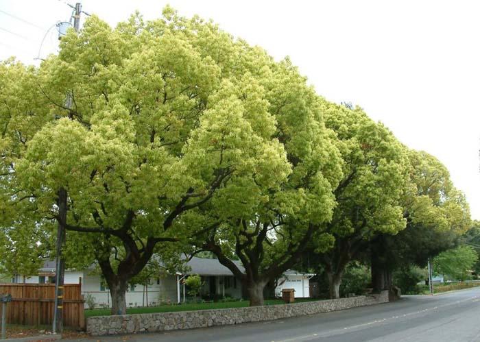 Cây long não – Cây làm sạch không khí, cây trồng công trình sân vườn