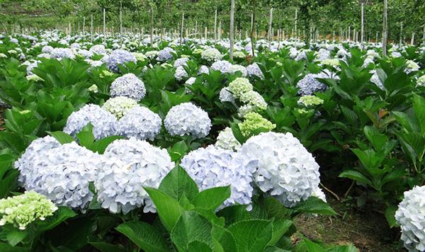 Hoa cẩm tú cầu – Hoa chùm bông lớn nhiều màu sắc