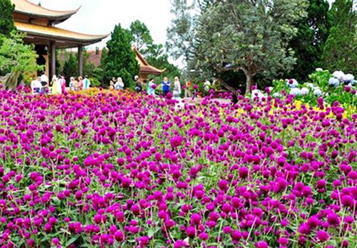 Cây hoa cúc Bách nhật – Hoa chậu đẹp dễ trồng và chăm sóc