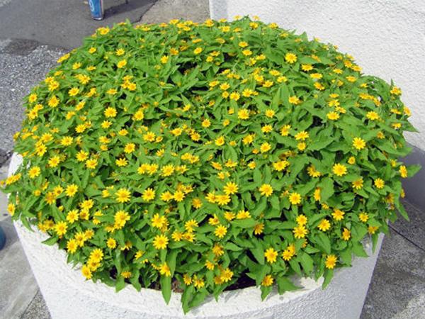 Hoa cúc mặt trời – Hoa ban công, hoa cảnh quan đẹp