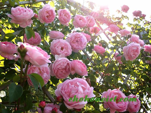 Hoa hồng leo – Hoa leo đẹp rực rỡ