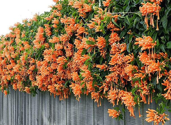 Hoa leo chùm ớt – Cây leo nhanh hoa đẹp rực rỡ