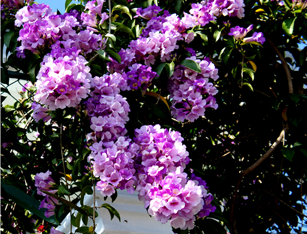Hoa lý tỏi – Hoa đẹp cho mọi không gian