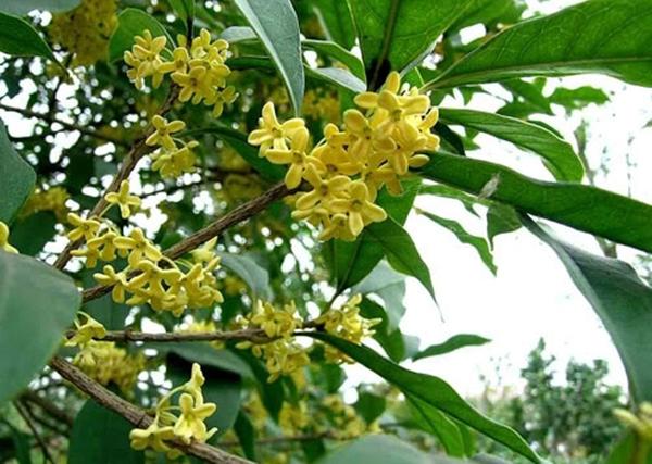 Kết quả hình ảnh cho hoa mộc hương
