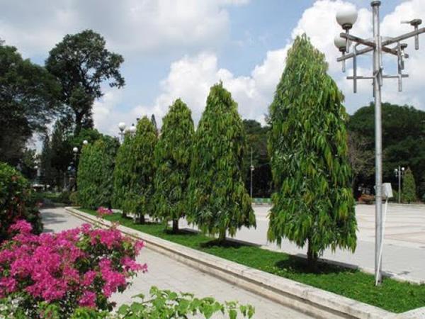 Cây hoàng nam – Cây trồng cảnh quan, đô thị