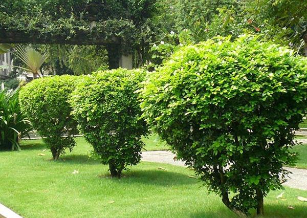 Cây ngâu – cây cảnh mộc mạc dễ trồng