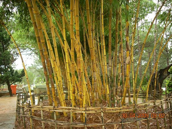 Cây tre vàng sọc – cây cảnh quan truyền thống