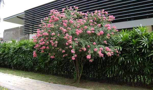 Cây hoa tường vi cây trồng cảnh quan cho hoa đẹp rực rỡ