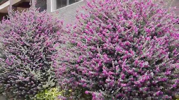 Cây hoa tuyết sơn phi hồng – Cây cảnh quan cho hoa đẹp