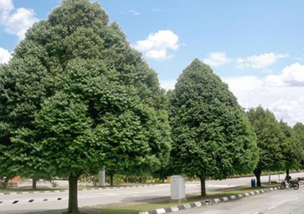 Kết quả hình ảnh cho cây sến xanh