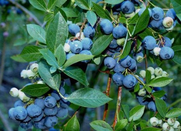 Cây việt quất – Cây ăn quả độc đáo có gái trị kinh tế cao
