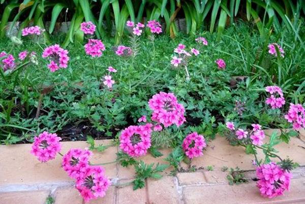 Cây hoa cúc nữ hoàng – Cúc indo