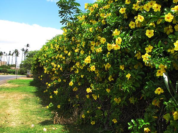 Hoa huỳnh anh – Hoa leo đẹp rực rỡ sắc vàng