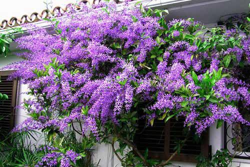 Hoa mai xanh – Hoa của đam mê sắc nắng