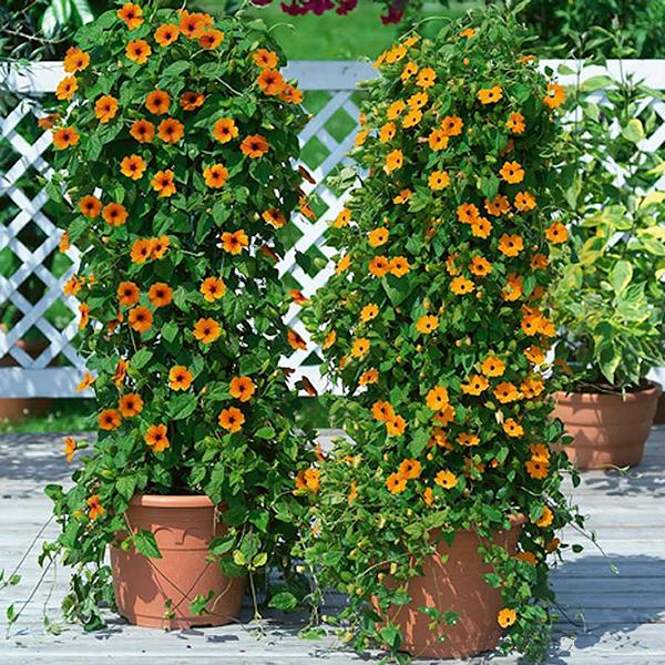 Hoa mắt huyền – Hoa đẹp cho ngôi nhà bạn
