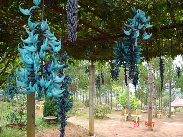 hoa-mong-cop-xanh-1a