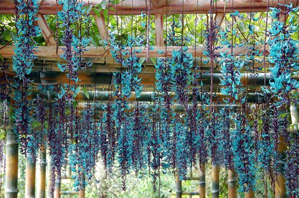 Cây hoa leo móng cọp – Hoa lạ hoa đẹp