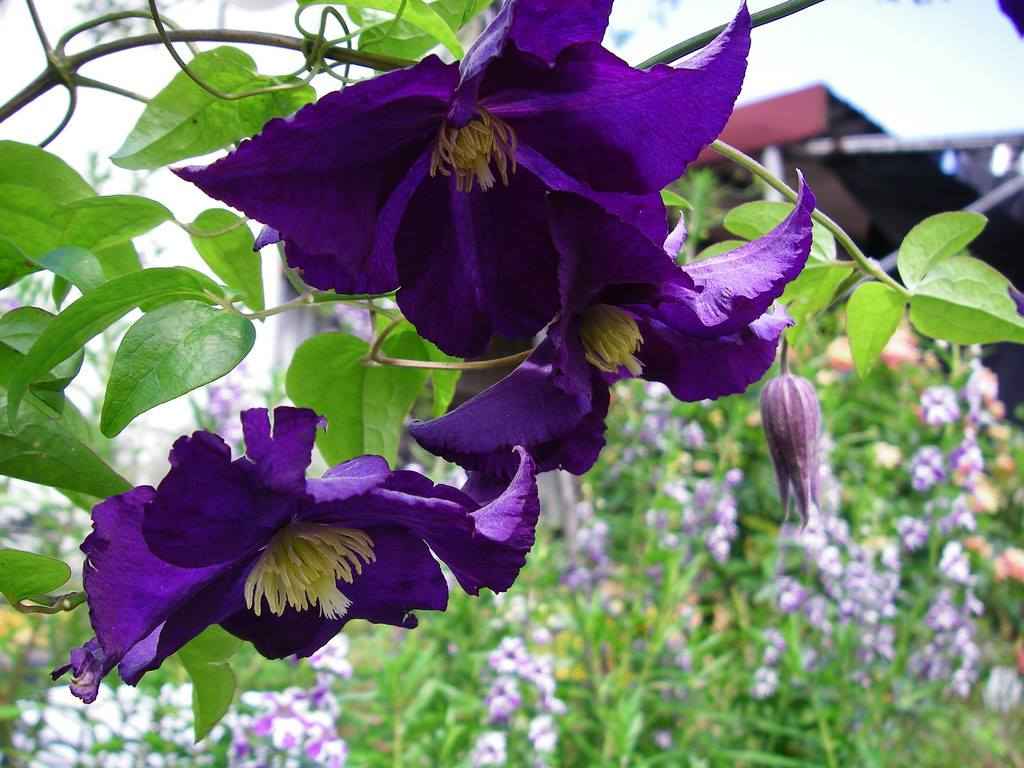 Hoa ông lão – Hoa đẹp mang tên ông lão