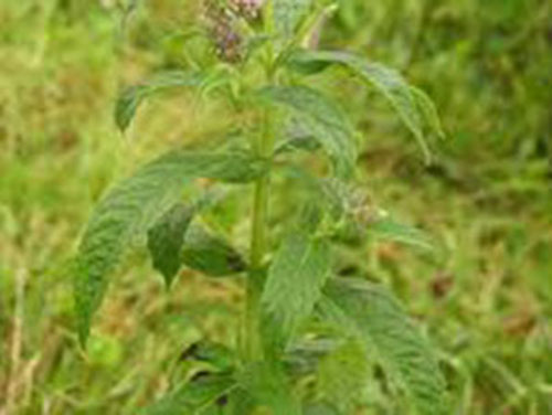 bac-ha-5-mentha-long5