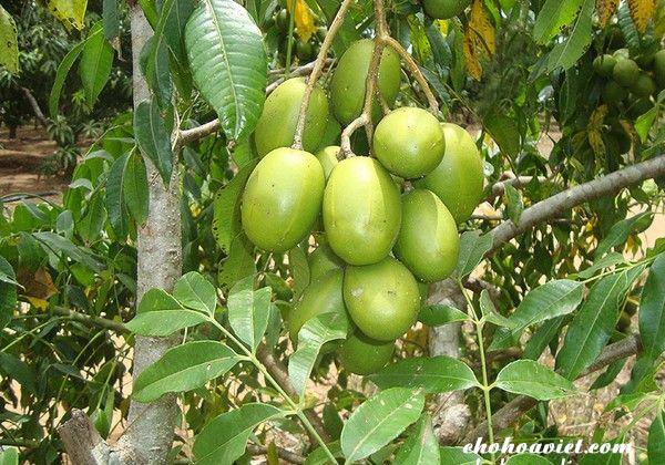 Cây cóc thái – Cây ăn quả độc đáo