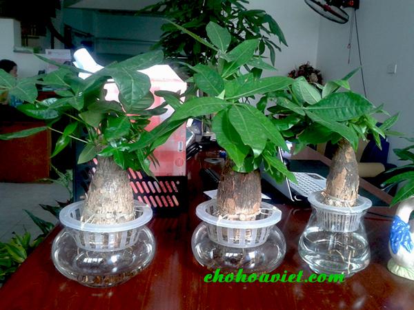 Cây kim Ngân trồng thủy sinh – Cây để bàn trang trí đẹp