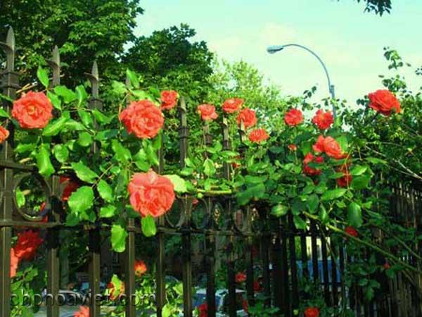 Hàng rào đem đến vẻ đẹp lãng mạn cho sân vườn