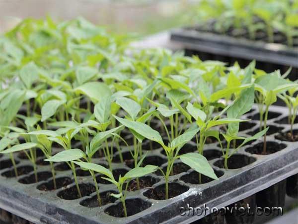 Khay gieo hạt, ươm mầm cây hoa cảnh