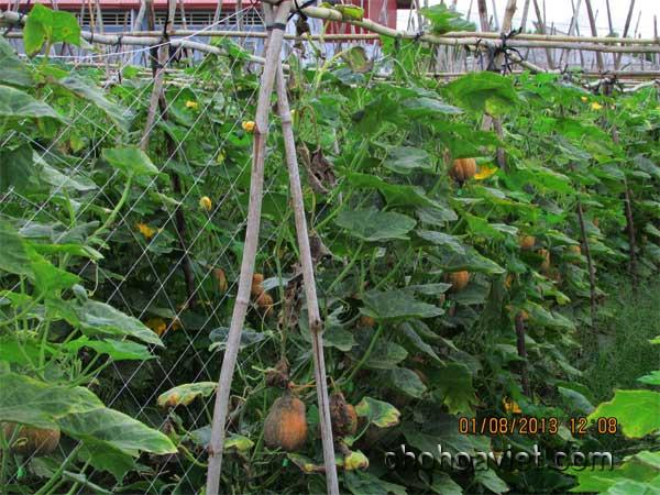 Lưới giàn leo – Lưới dành cho các nhà vườn