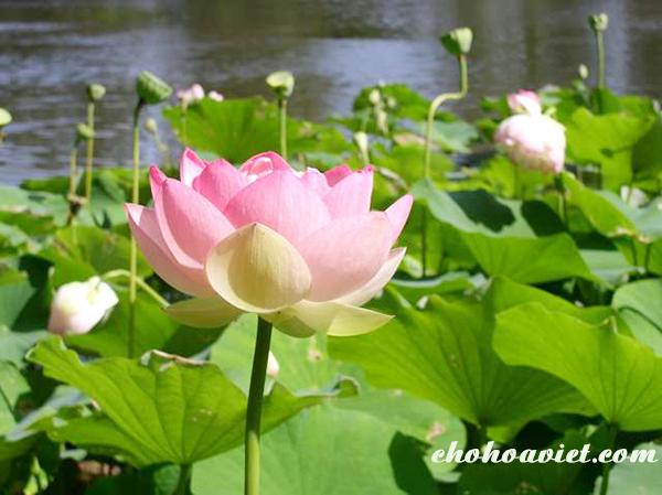 Hoa sen – Hoa truyền thống đẹp rực rỡ