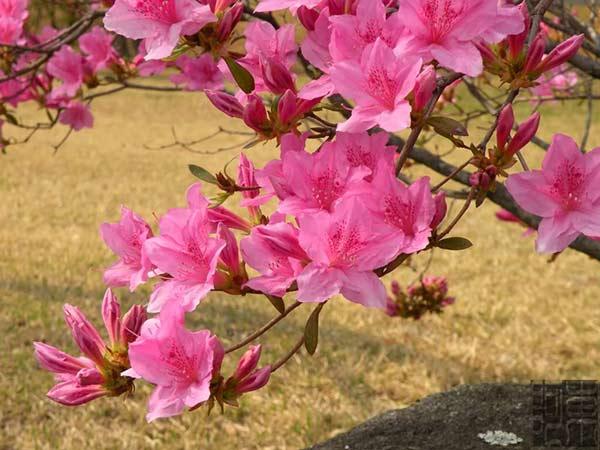 Hoa Đỗ Quyên Úc hoa Tết với nhiều ý nghĩa