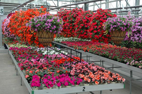 Hoa mai địa thảo hoa cho mọi không gian -Cách trồng và chăm sóc