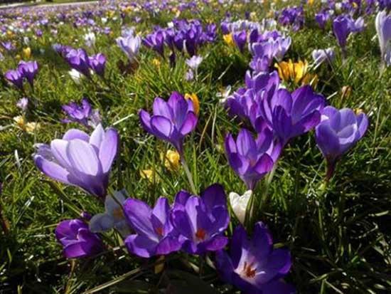 Hoa nghệ tây hoa đẹp cho ngôi nhà bạn