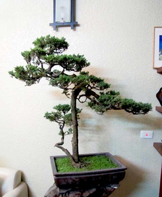 tung-bonsai-mau-tua
