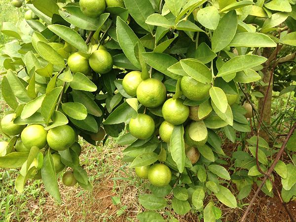 Cây chanh đào – Hướng dẫn cách trồng và chăm sóc cho sai quả nhất