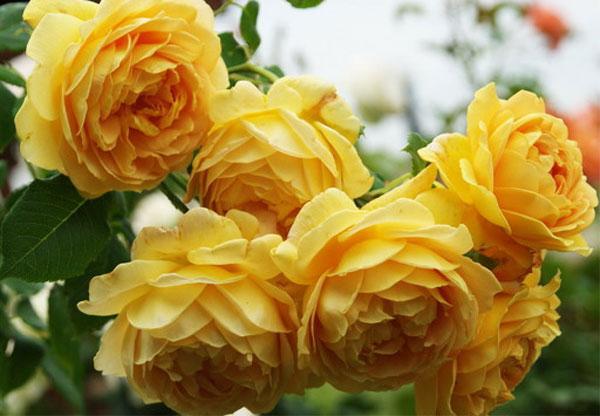 hoa-hong-leo-Charles-Darwin-Rose-3a