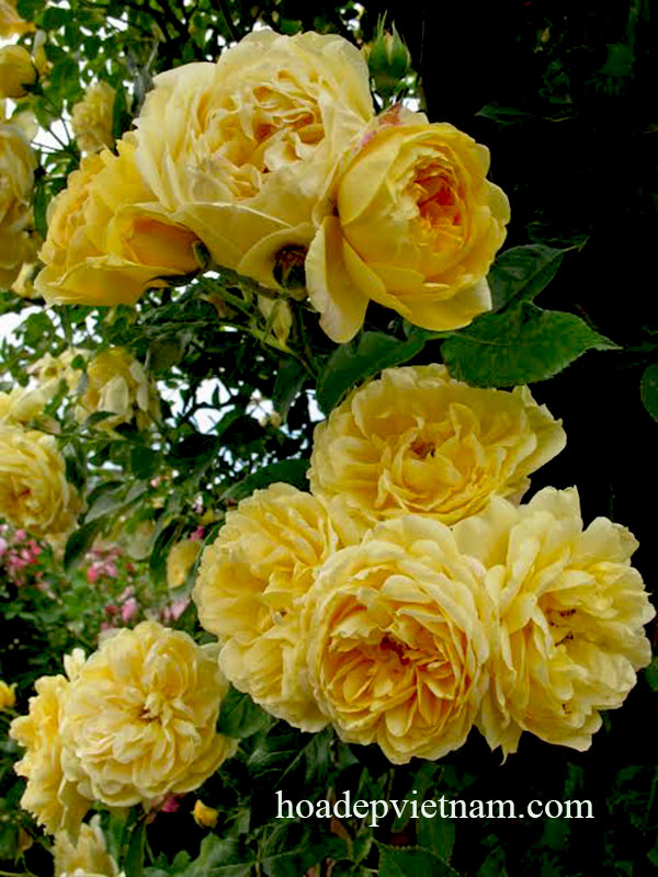 hoa-hong-leo-Golden-Celebration-Rose-3a